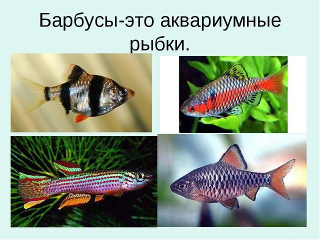 Барбусы-это аквариумные рыбки.