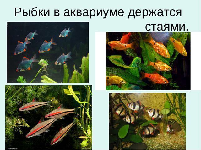 Рыбки в аквариуме держатся стаями.