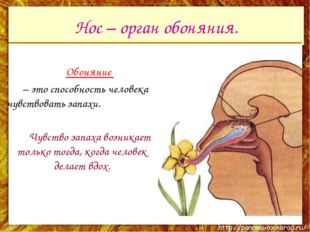 Нос – орган обоняния. Обоняние – это способность человека чувствовать запах