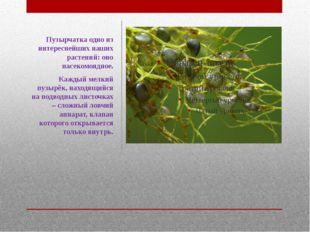 Пузырчатка одно из интереснейших наших растений: оно насекомоядное. Каждый ме