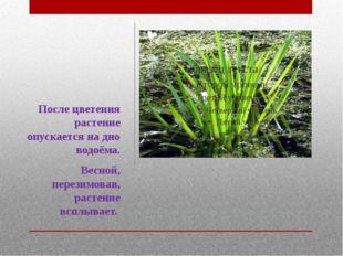 После цветения растение опускается на дно водоёма. Весной, перезимовав, расте
