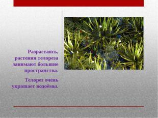 Разрастаясь, растения телореза занимают большие пространства. Телорез очень у