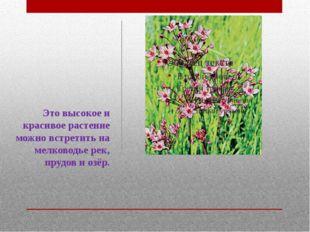 Это высокое и красивое растение можно встретить на мелководье рек, прудов и о