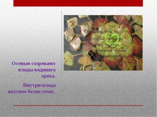 Осенью созревают плоды водяного ореха. Внутри плода вкусное белое семя.