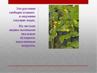 Это растение свободно плавает в медленно текущих водах. На листьях видны мале