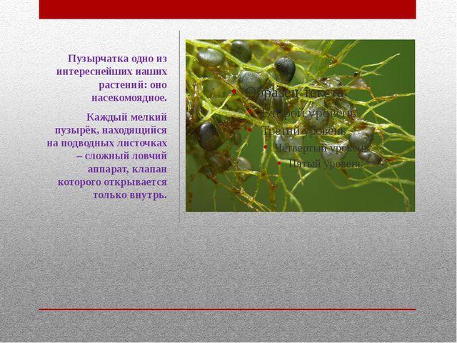 Пузырчатка одно из интереснейших наших растений: оно насекомоядное. Каждый ме...