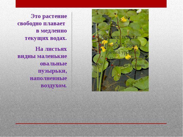 Это растение свободно плавает в медленно текущих водах. На листьях видны мале...