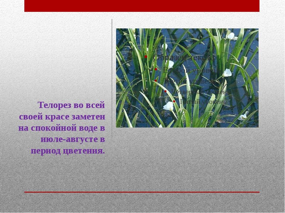 Телорез во всей своей красе заметен на спокойной воде в июле-августе в период...
