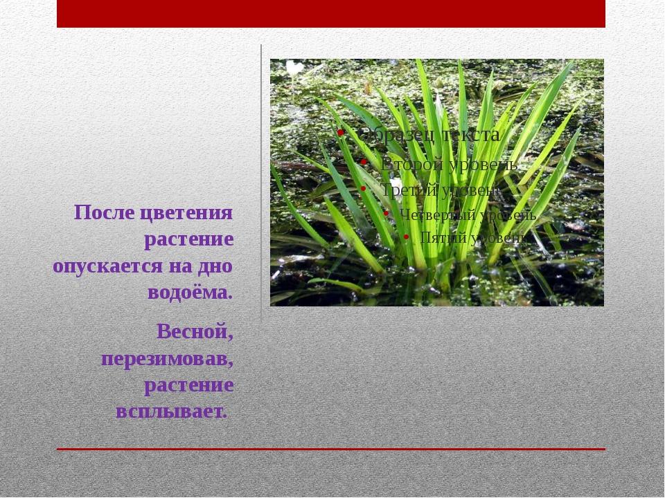 После цветения растение опускается на дно водоёма. Весной, перезимовав, расте...