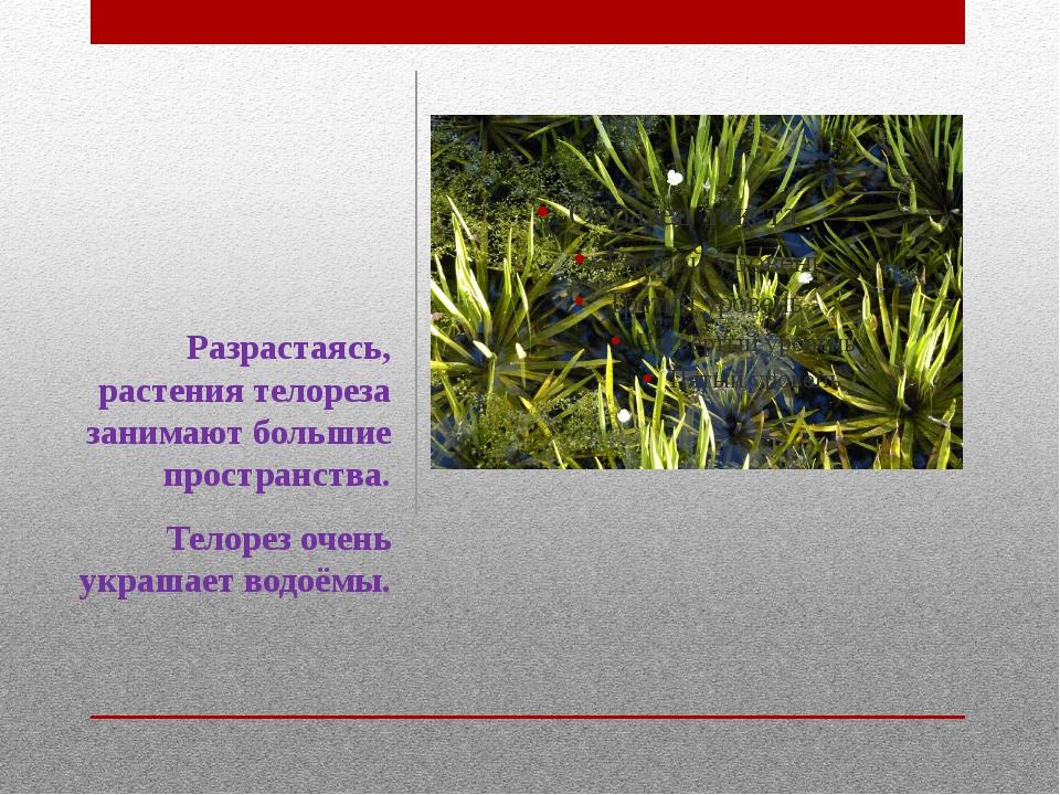 Разрастаясь, растения телореза занимают большие пространства. Телорез очень у...