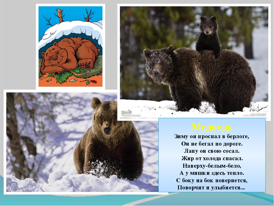 Медведь Зиму он проспал в берлоге, Он не бегал по дороге. Лапу он свою сосал....