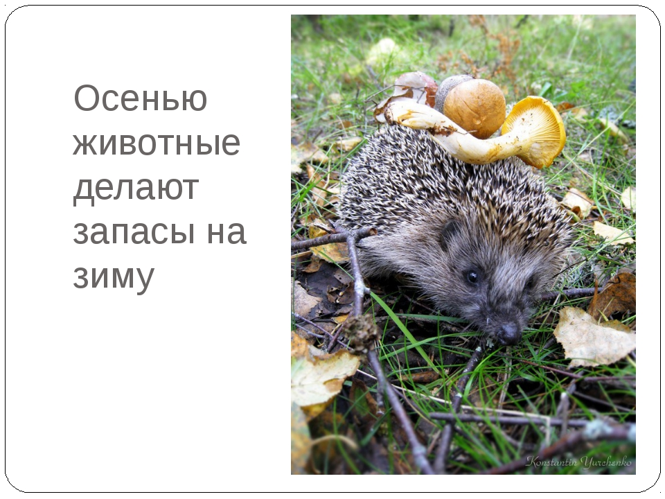 Осенью животные делают запасы на зиму