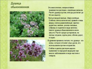 Душица обыкновенная Это многолетнее, неприхотливое травянистое растение с пр