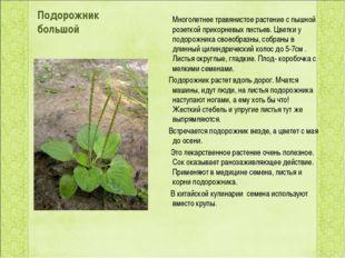 Подорожник большой Многолетнее травянистое растение с пышной розеткой прикорн