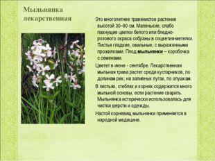 Мыльнянка лекарственная  Это многолетнеетравянистое растение высотой 30–90