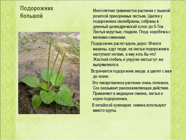 Подорожник большой Многолетнее травянистое растение с пышной розеткой прикорн...