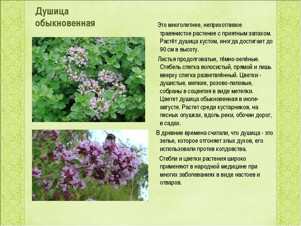 Душица обыкновенная Это многолетнее, неприхотливое травянистое растение с пр...