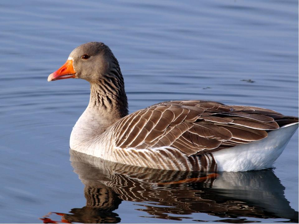 это фото дикого серого гуся изучив