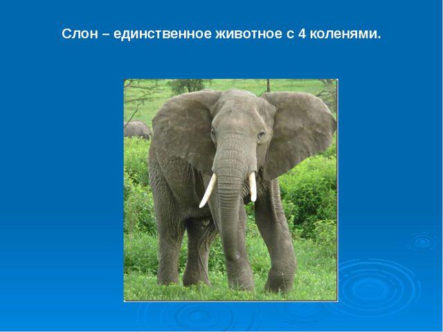 Слон – единственное животное с 4 коленями.