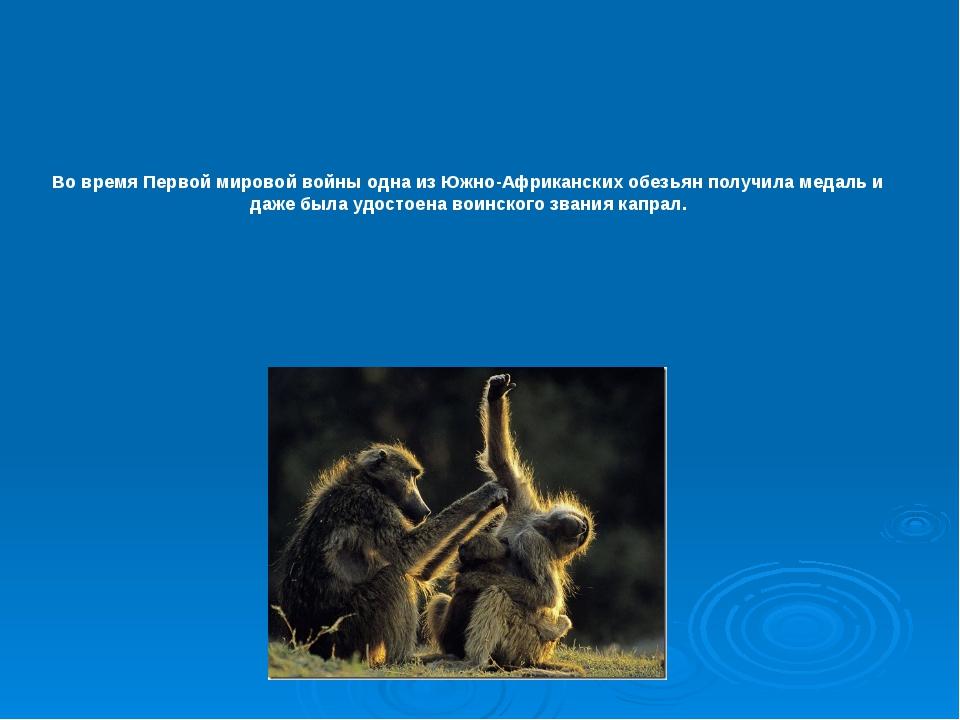 Во время Первой мировой войны одна из Южно-Африканских обезьян получила медал...