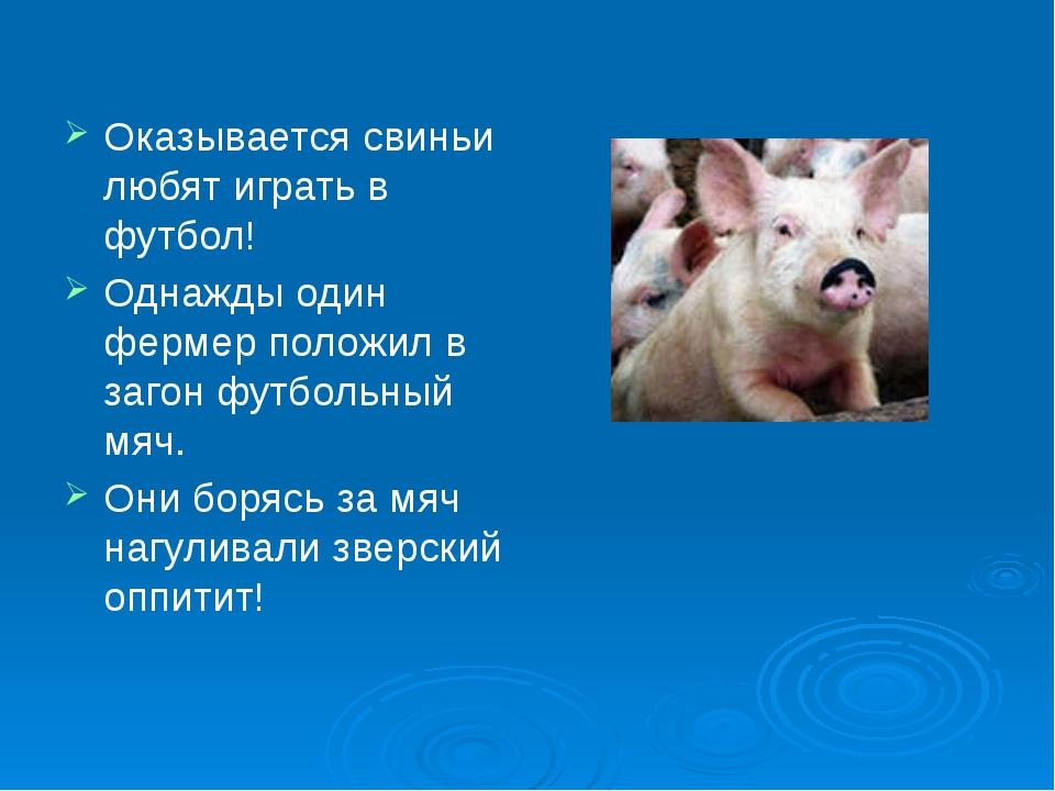 Оказывается свиньи любят играть в футбол! Однажды один фермер положил в загон...