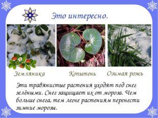 Это интересно. Эти травянистые растения уходят под снег зелёными. Снег защищ