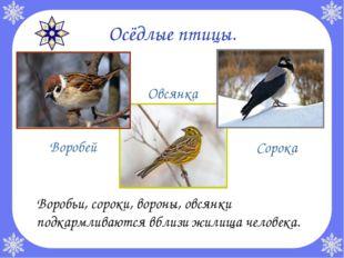 Осёдлые птицы. Воробьи, сороки, вороны, овсянки подкармливаются вблизи жилищ