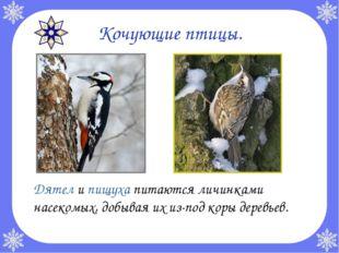 Кочующие птицы. Дятел и пищуха питаются личинками насекомых, добывая их из-п