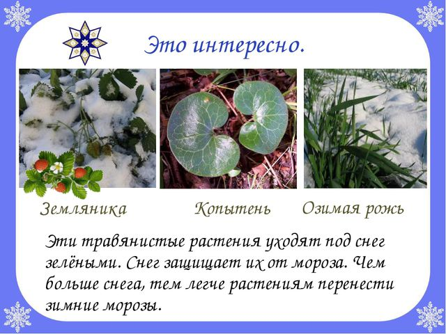 Это интересно. Эти травянистые растения уходят под снег зелёными. Снег защищ...