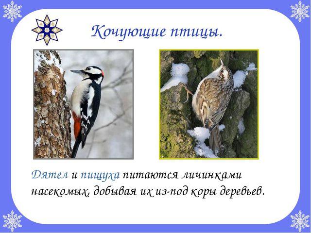 Кочующие птицы. Дятел и пищуха питаются личинками насекомых, добывая их из-п...
