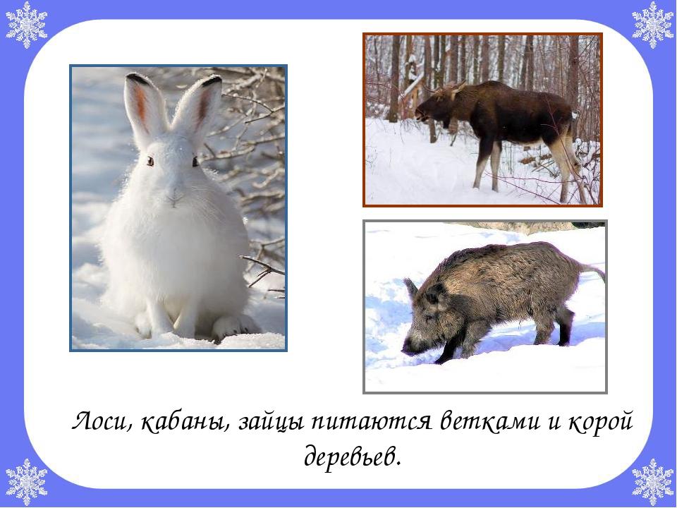Лоси, кабаны, зайцы питаются ветками и корой деревьев.
