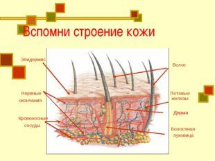 Вспомни строение кожи Эпидермис Волос Волосяная луковица Нервные окончания К