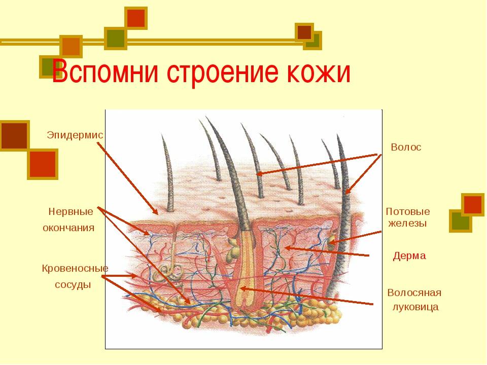 Вспомни строение кожи Эпидермис Волос Волосяная луковица Нервные окончания К...