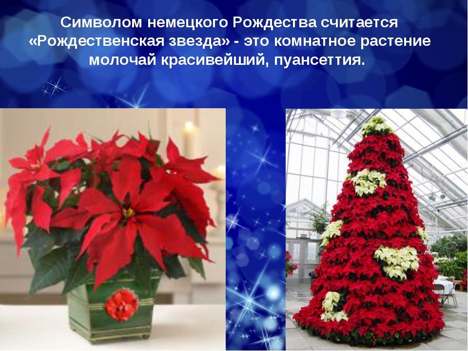 Символом немецкого Рождества считается «Рождественская звезда» - это комнатно...