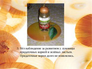 3. Вёл наблюдение за развитием у луковицы придаточных корней и зелёных листье