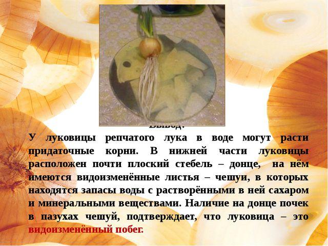 Вывод: У луковицы репчатого лука в воде могут расти придаточные корни. В нижн...