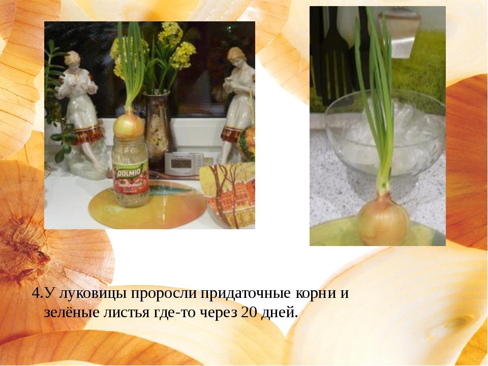 4.У луковицы проросли придаточные корни и зелёные листья где-то через 20 дней.
