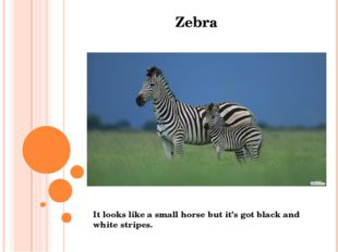 Zebra It looks like a small horse but it's got black and white stripes.