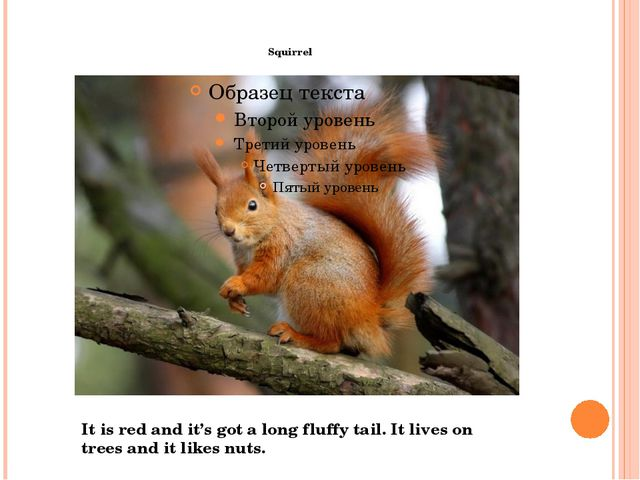 Squirrel It is red and it's got a long fluffy tail. It lives on trees and it...