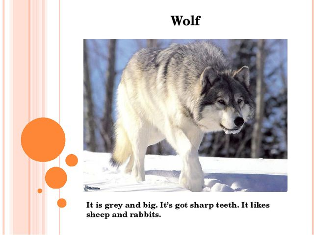 Wolf It is grey and big. It's got sharp teeth. It likes sheep and rabbits.