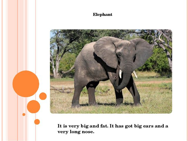 Elephant It is very big and fat. It has got big ears and a very long nose.