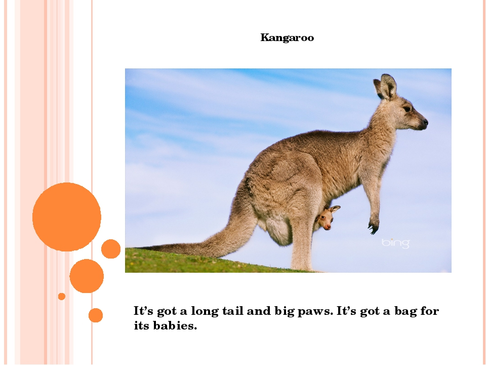 Kangaroo It's got a long tail and big paws. It's got a bag for its babies.
