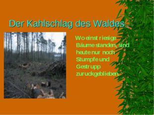 Der Kahlschlag des Waldes Wo einst riesige Bäume standen, sind heute nur noch