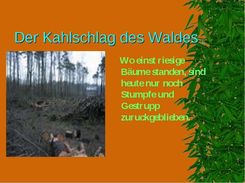 Der Kahlschlag des Waldes Wo einst riesige Bäume standen, sind heute nur noch...