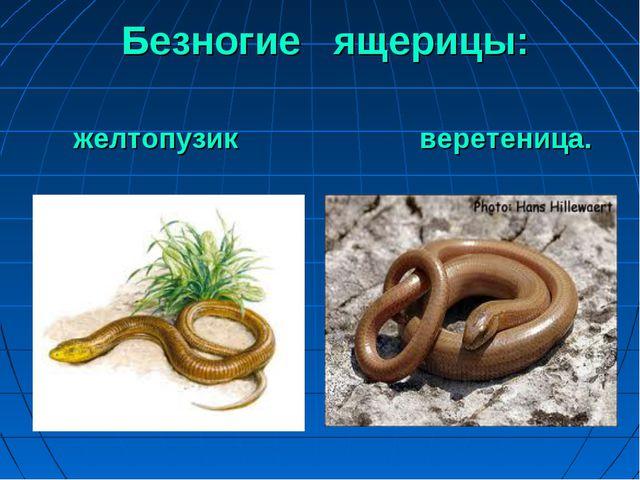 Безногие ящерицы: желтопузик веретеница.