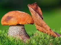 Nature_Mushrooms_Orange-cap_boletus_030803_29