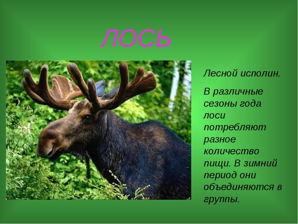 ЛОСЬ Лесной исполин. В различные сезоны года лоси потребляют разное количест...