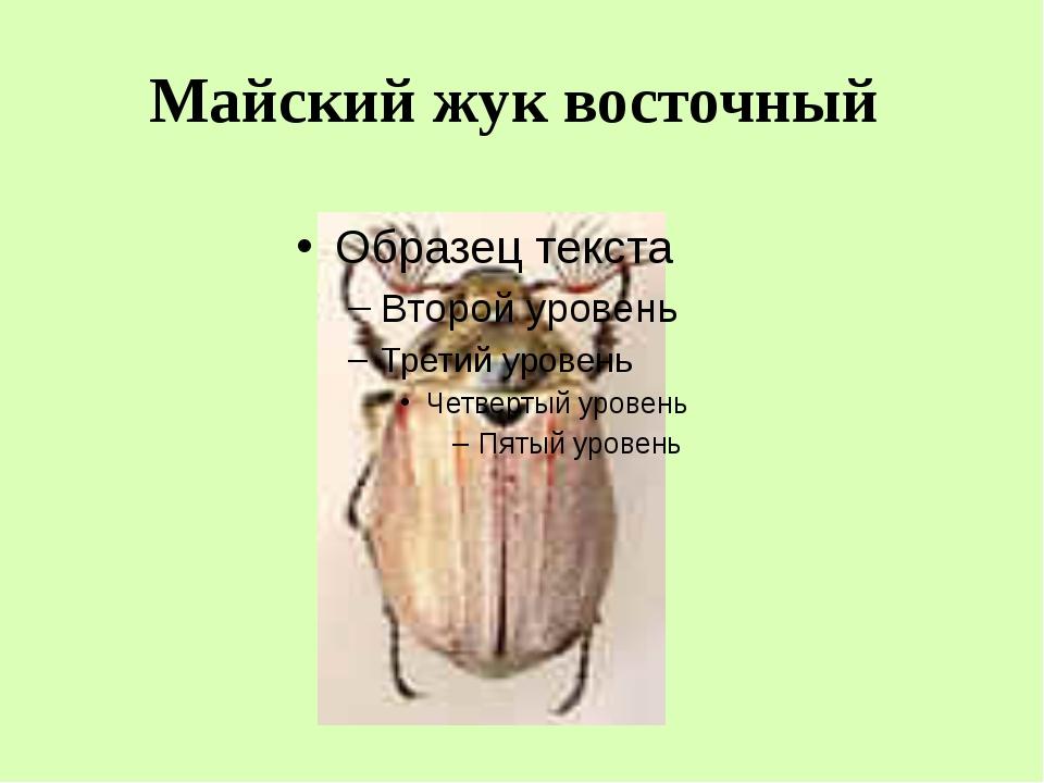 Майский жук восточный