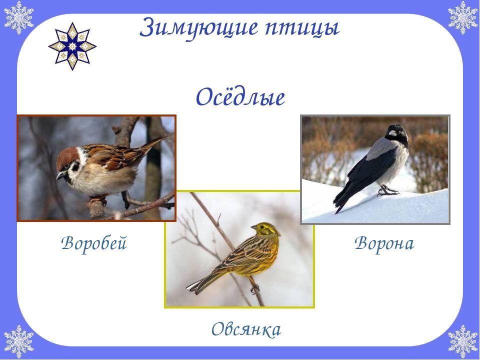 Зимующие птицы Осёдлые Воробей Овсянка Ворона