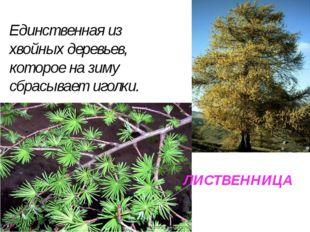 ЛИСТВЕННИЦА Единственная из хвойных деревьев, которое на зиму сбрасывает игол